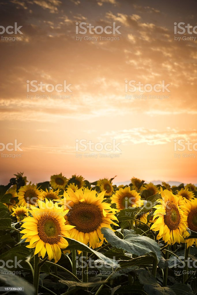 Sunflowers at dusk royalty-free stock photo