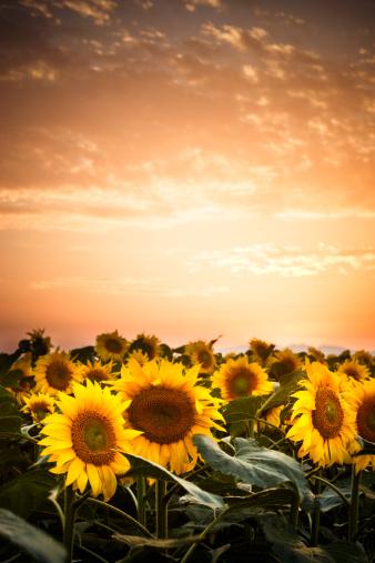 Sunset on a sunflower field in Emporda(Catalunya) - Lens flare.