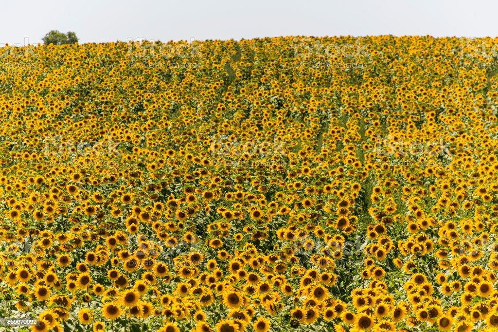 sunflowers at field near balikesir Turkey stock photo