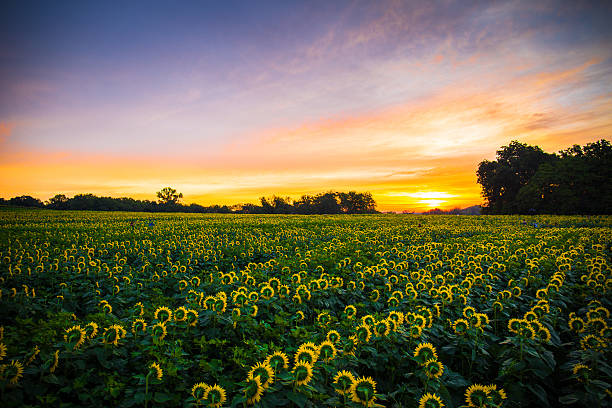 Sunflowers at sunrise stock photo