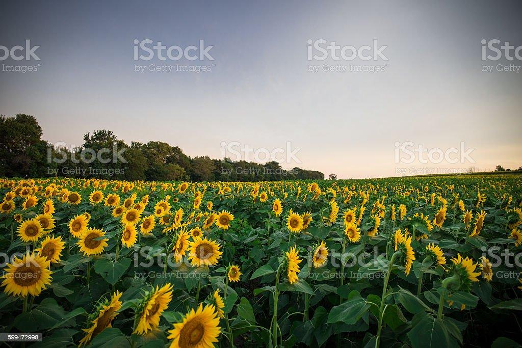 Sunflowers at sunrise stock photo