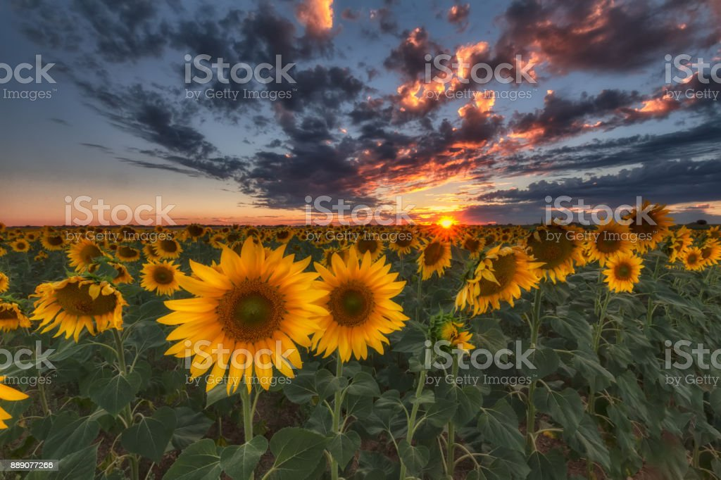 Sunflowers at sunset in Castilla in spain stock photo