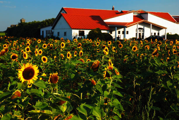 Sunflowers at the winery stock photo