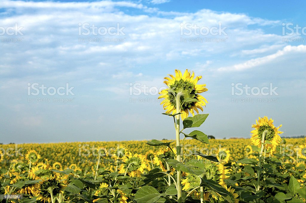sunflowers back royalty-free stock photo