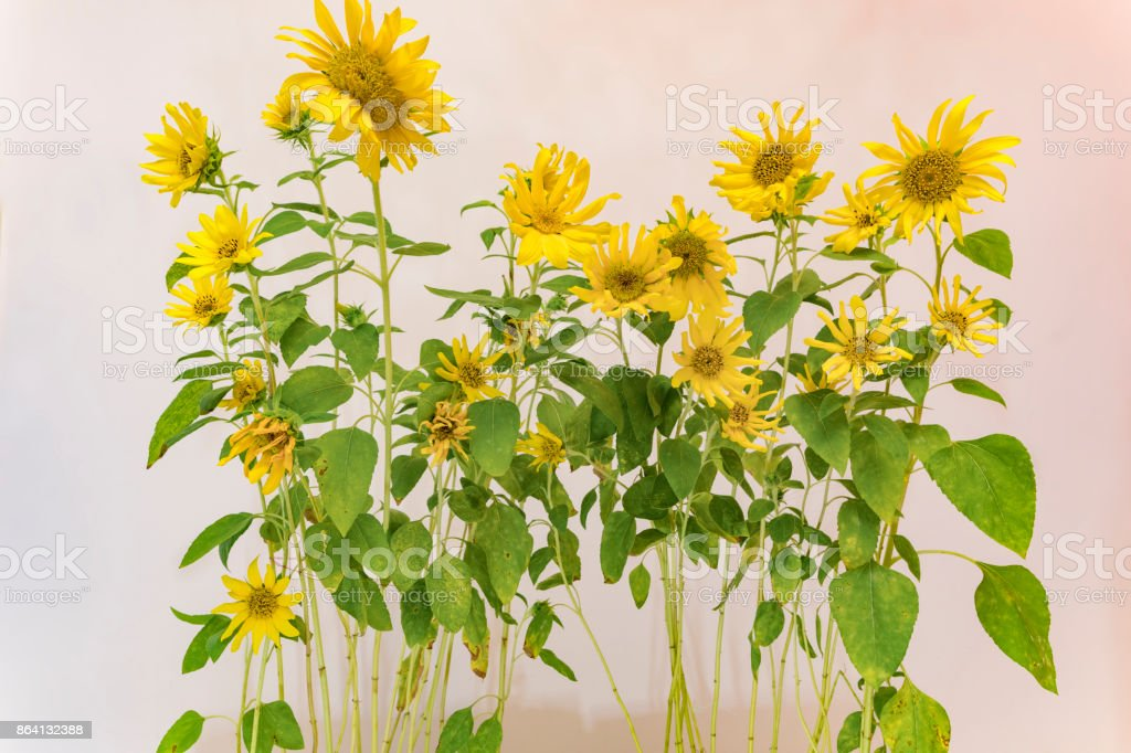 sunflowers background royalty-free stock photo