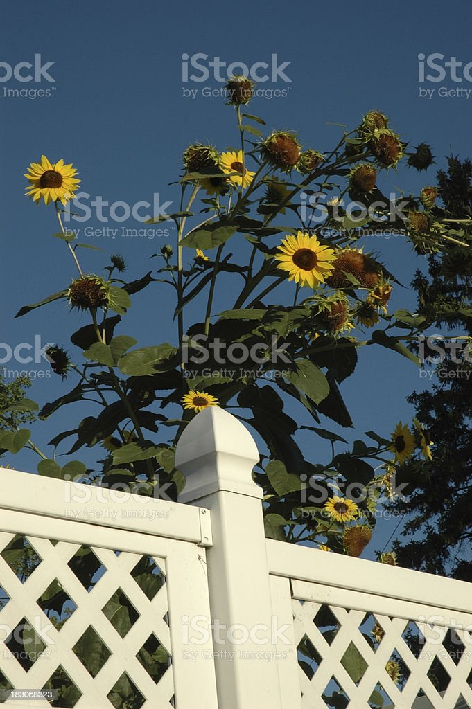 Sunflowers behind Fence royalty-free stock photo
