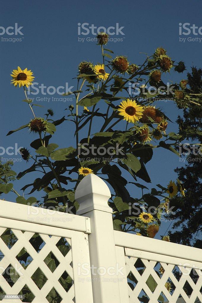 Sunflowers behind Fence stock photo