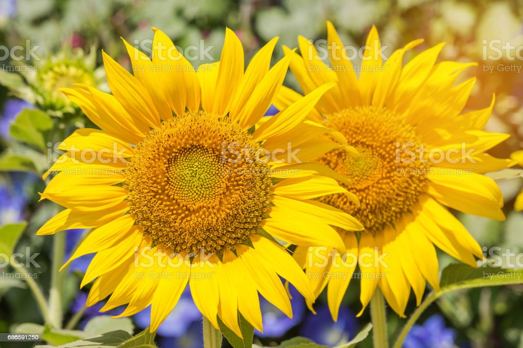 sunflowers blooming in the field royalty-free stock photo