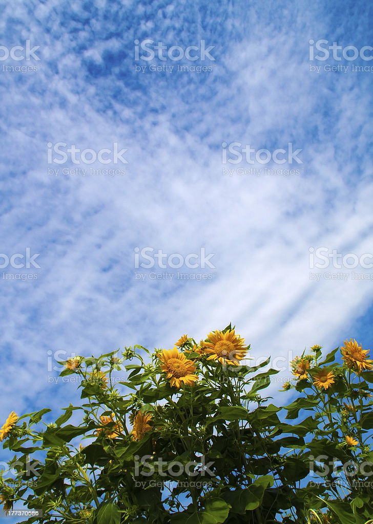 Sunflowers blossom under blue sky royalty-free stock photo