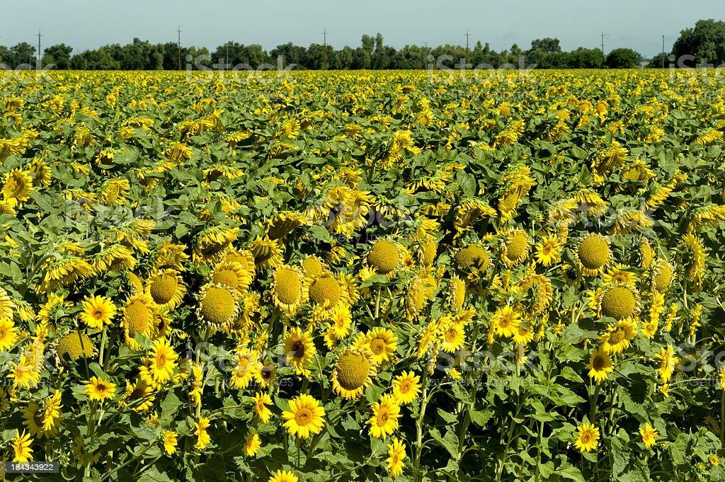 Sunflowers, California stock photo