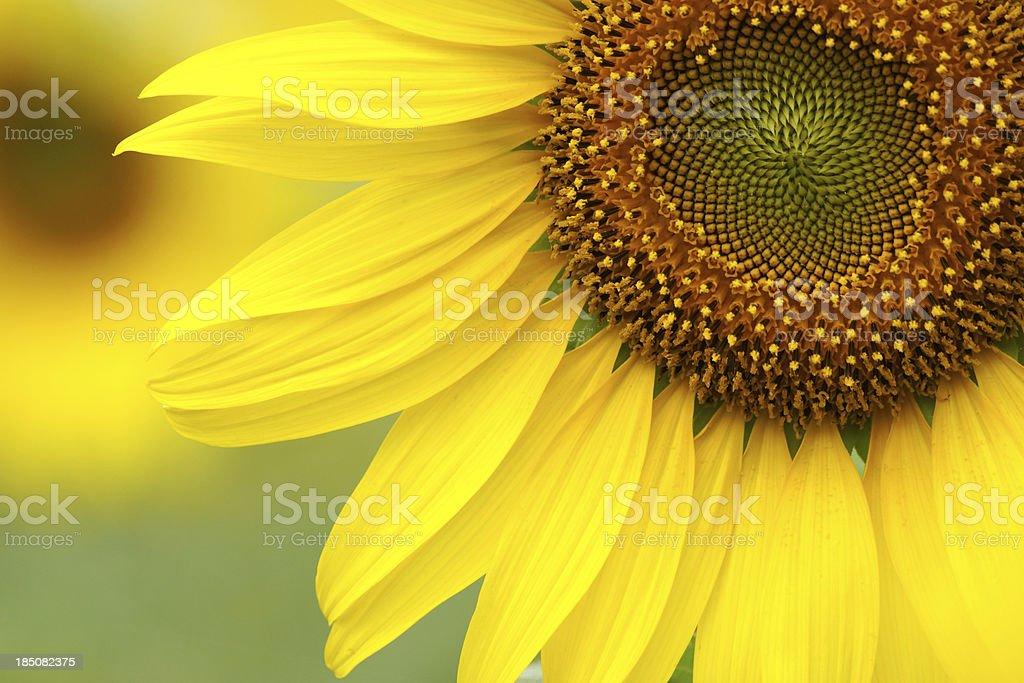 Sunflowers close-up stock photo