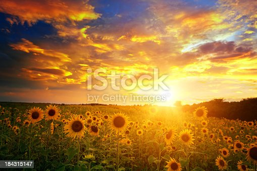 Sunflowers field landscape and sunset sky