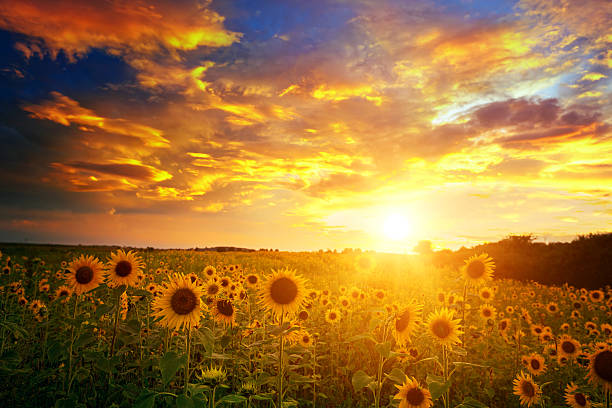 sunflowers field and sunset sky - sunflower stok fotoğraflar ve resimler