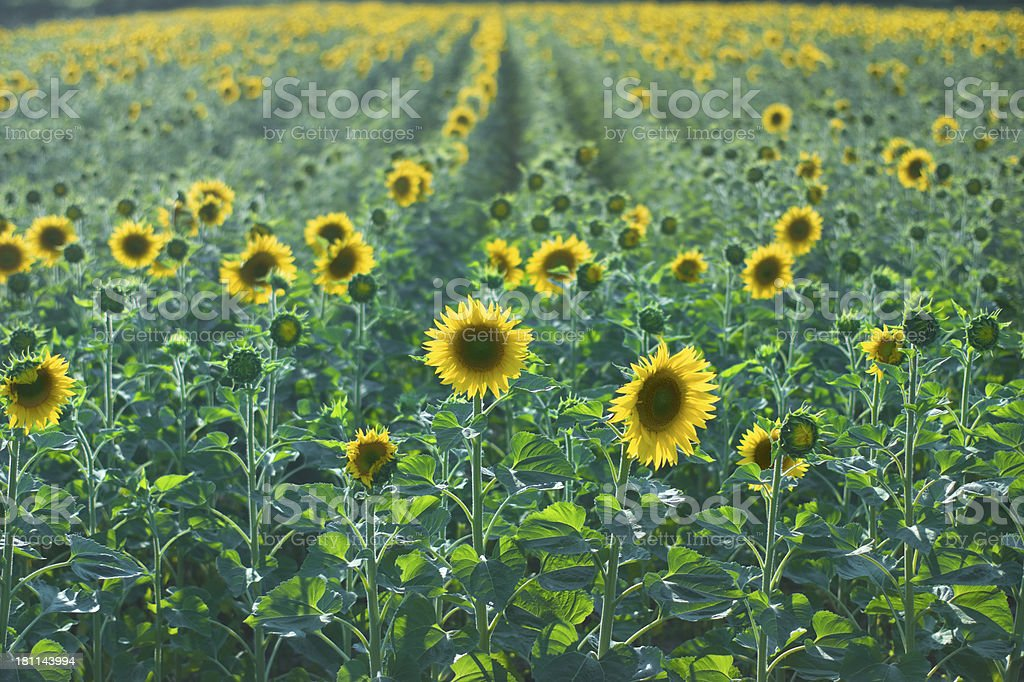 Sunflowers field, bright day light royalty-free stock photo