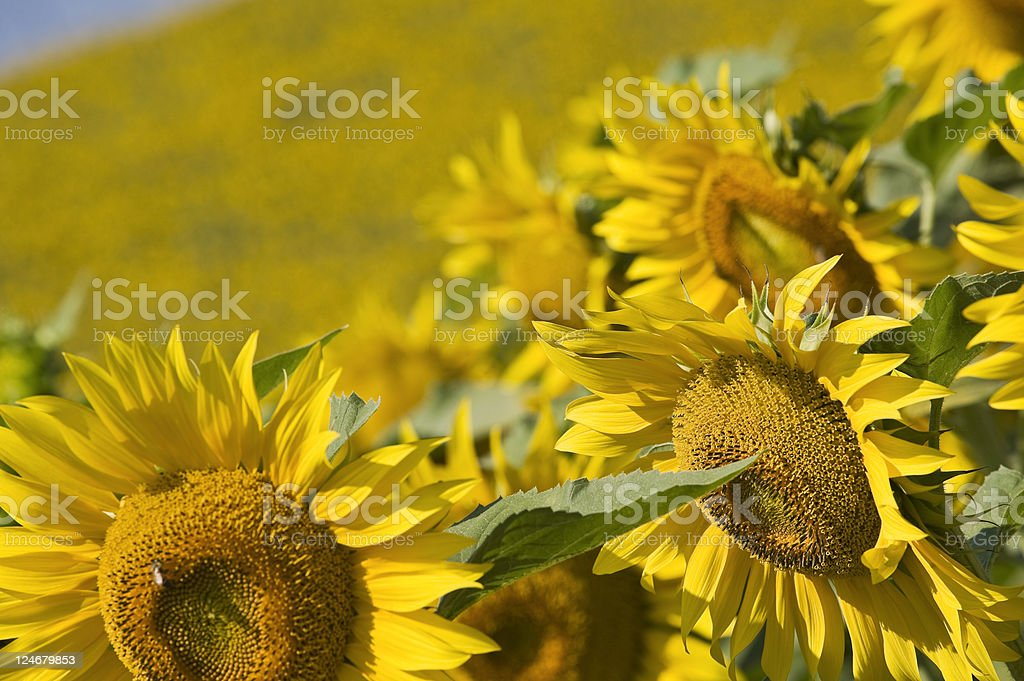 Sunflowers Field. Color Image royalty-free stock photo