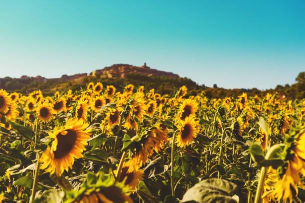 Sonnenblumen Feld im Sommer, Bild aufgenommen in der Toskana, Italien – Foto