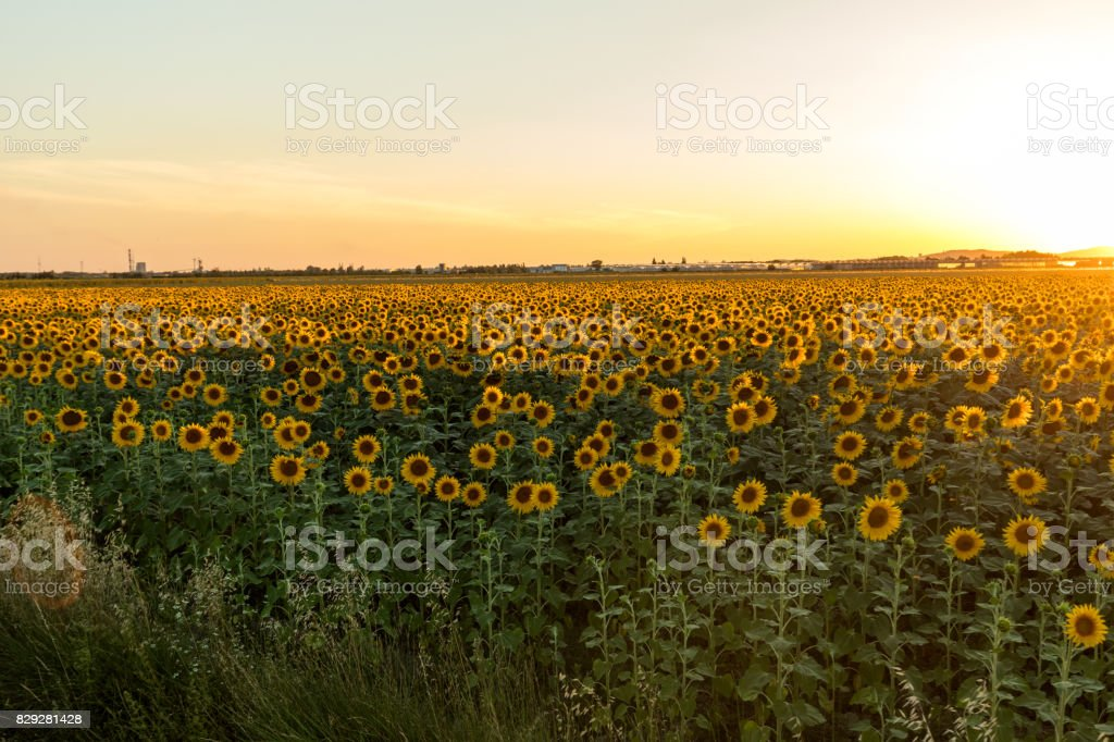 Sunflowers field near Arles  in Provence, France stock photo