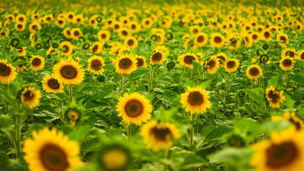 Sunflowers field on a sunny day. stock photo