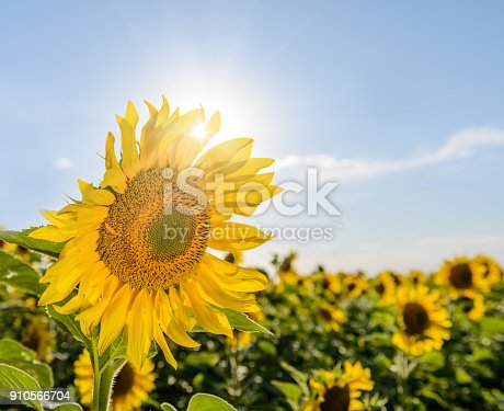 sunflowers field on cloudy blue sky with the sun