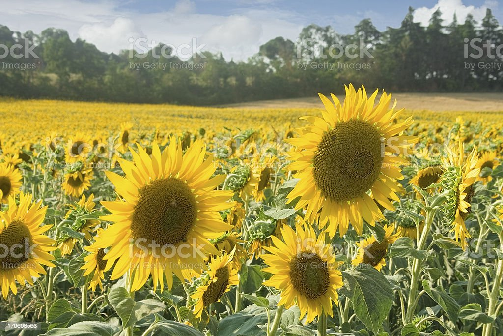 sunflowers field royalty-free stock photo