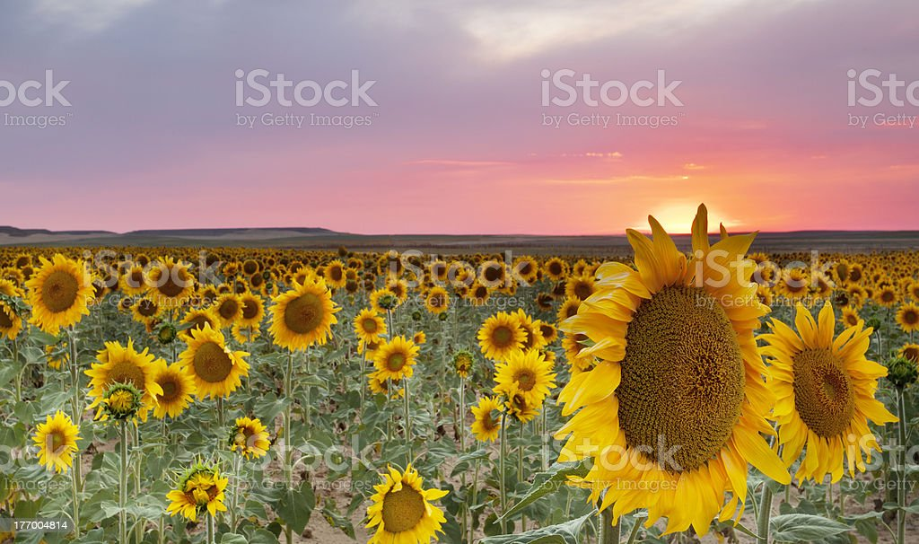 Sunflowers field (Palencia,Spain) stock photo