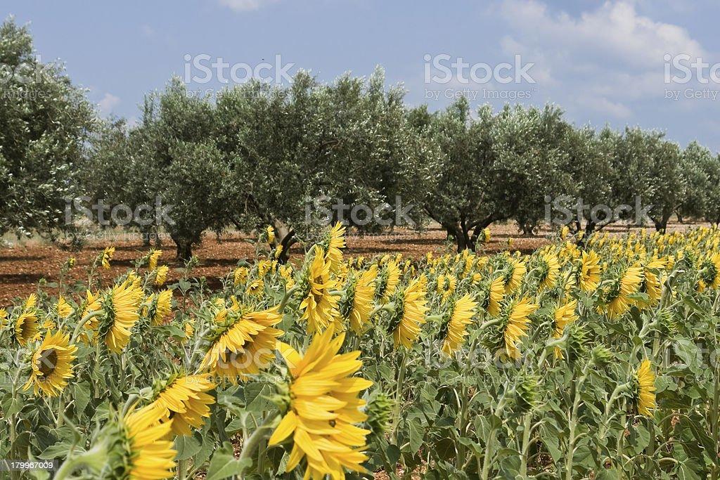 Sunflower's field royalty-free stock photo