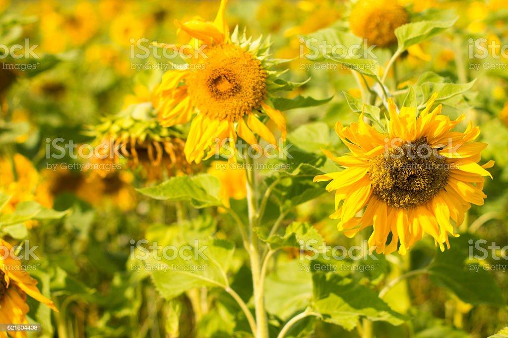Sonnenblumen Feld  Lizenzfreies stock-foto
