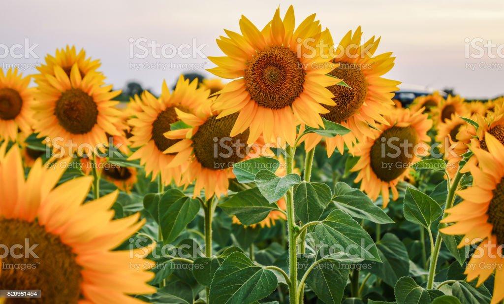 sunflowers field stock photo