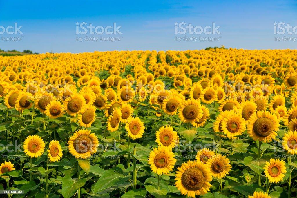 Sonnenblumen Feld, Sommerlandschaft – Foto