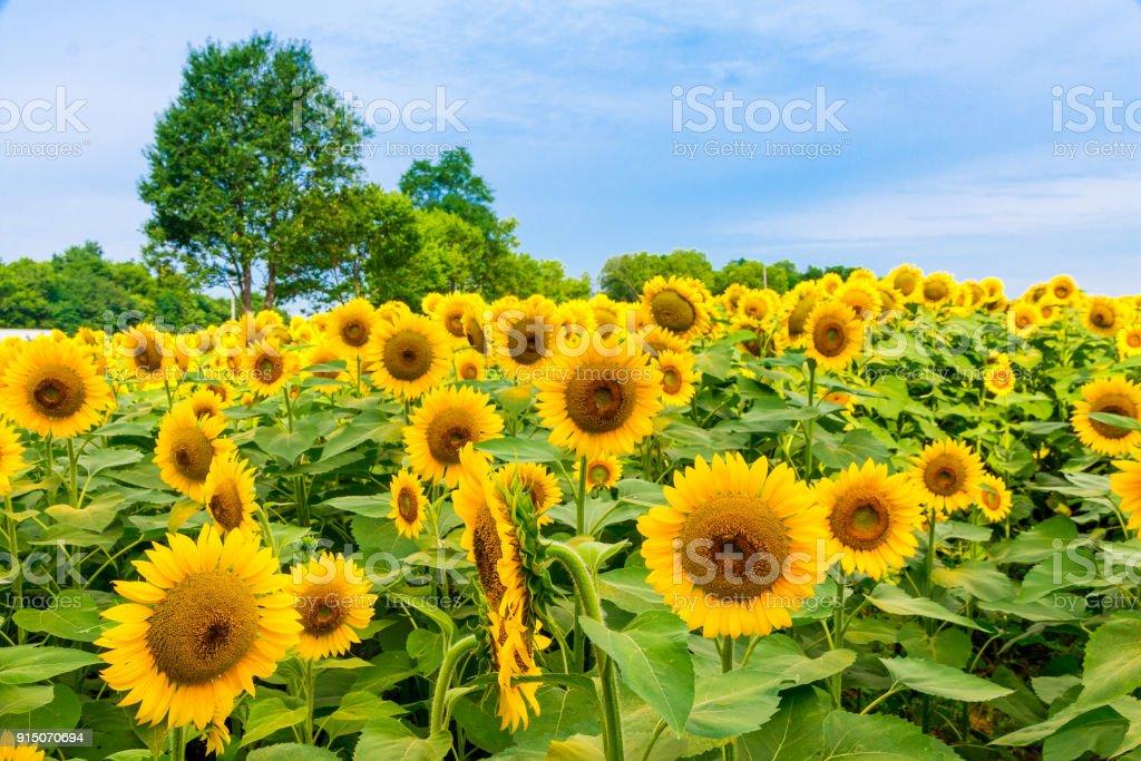 Sonnenblumen Feld, Sommer natürlichen Hintergrund – Foto