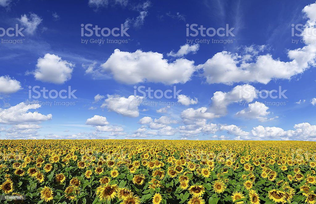 Sunflowers field, the blue sky and white clouds stock photo
