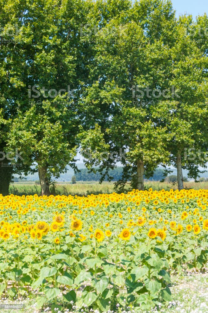 Sunflowers field under the blue sky stock photo