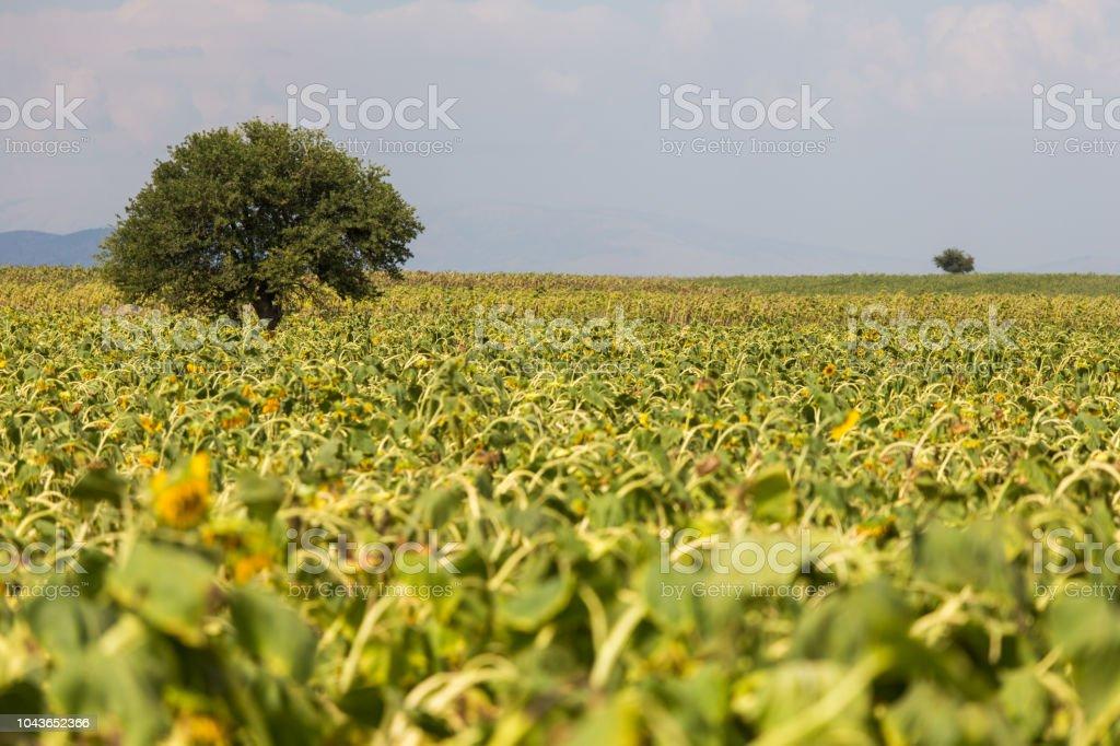 sunflowers field with a tree scene, sunflowers head down. selective...