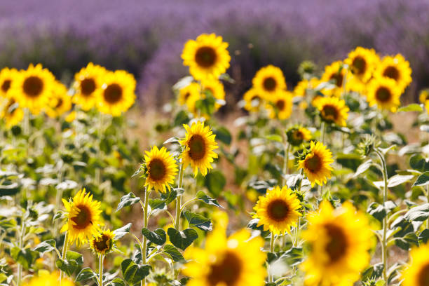 sunflowers fields in valensole, provence, france stock photo