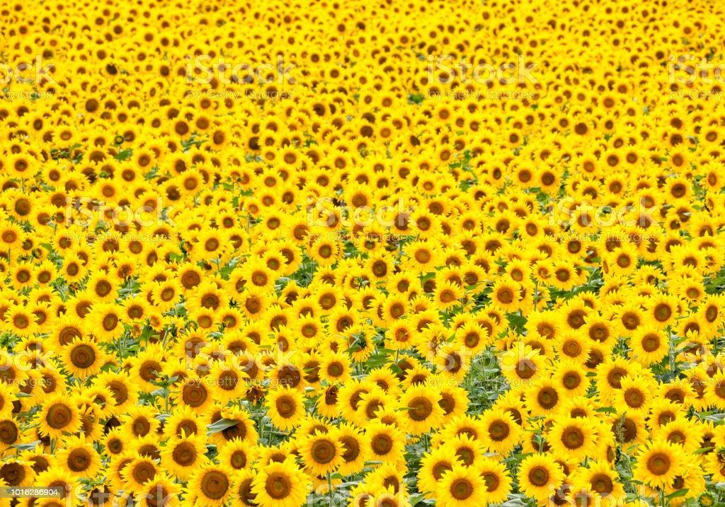 Sunflowers Galore stock photo