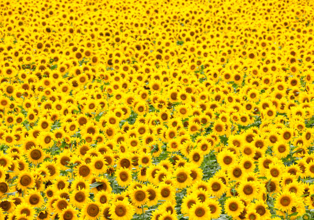 Sunflowers Galore stock photo