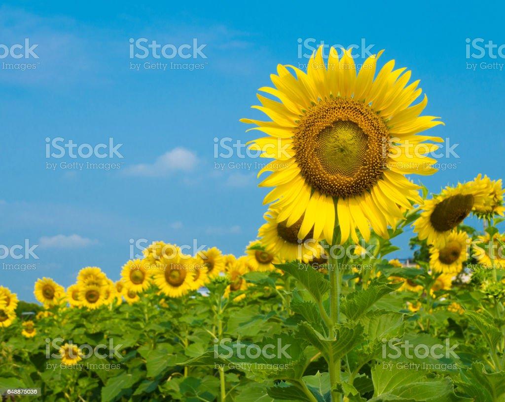 Sunflowers garden stock photo