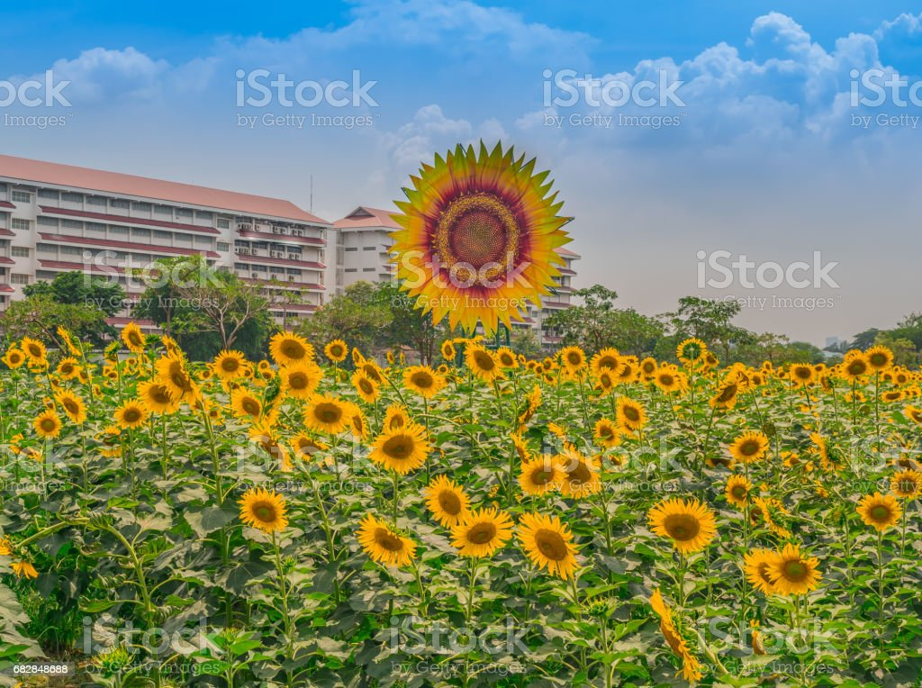 Sonnenblumen im Garten Lizenzfreies stock-foto