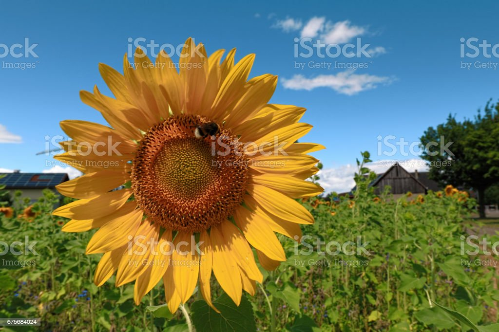 Sunflowers garden. Sunflowers have abundant health benefits. Germany royalty-free stock photo