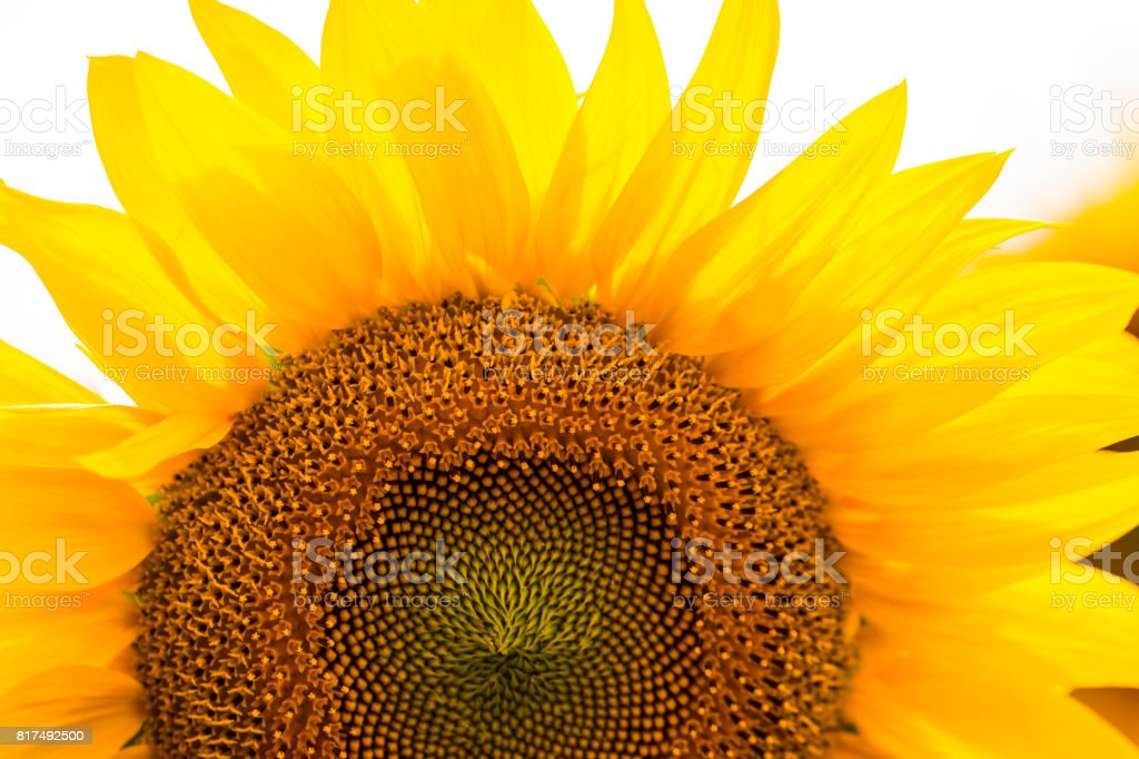 Sunflowers garden. Sunflowers have abundant health benefits. Sunflower oil improves skin health and promote cell regeneration - foto stock