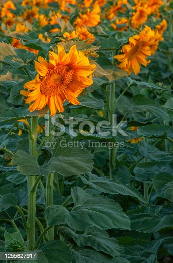 Close up of blooming sunflower (helianthus annuus) field at sunrise. One-quarter of the world's supply of sunflower seeds are grown in California each summer.