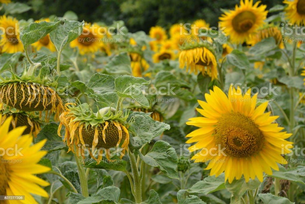 sunflowers grow stock photo