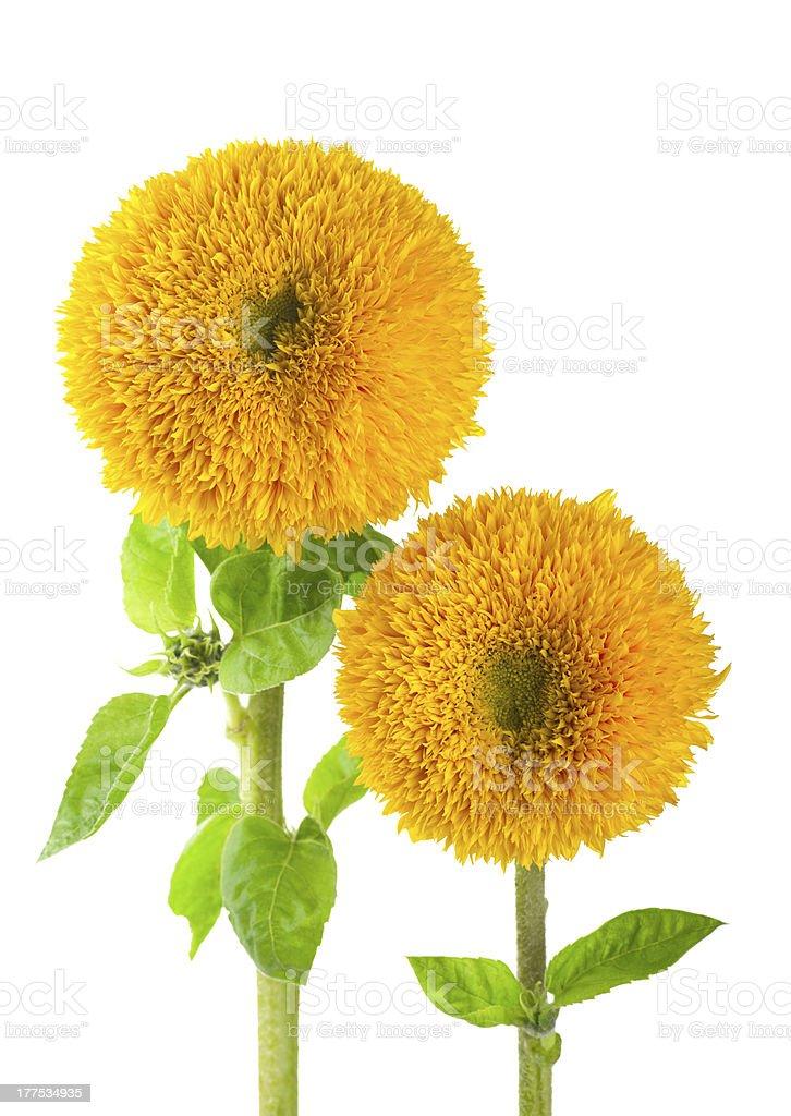 Sunflowers, helianthus annuus stock photo