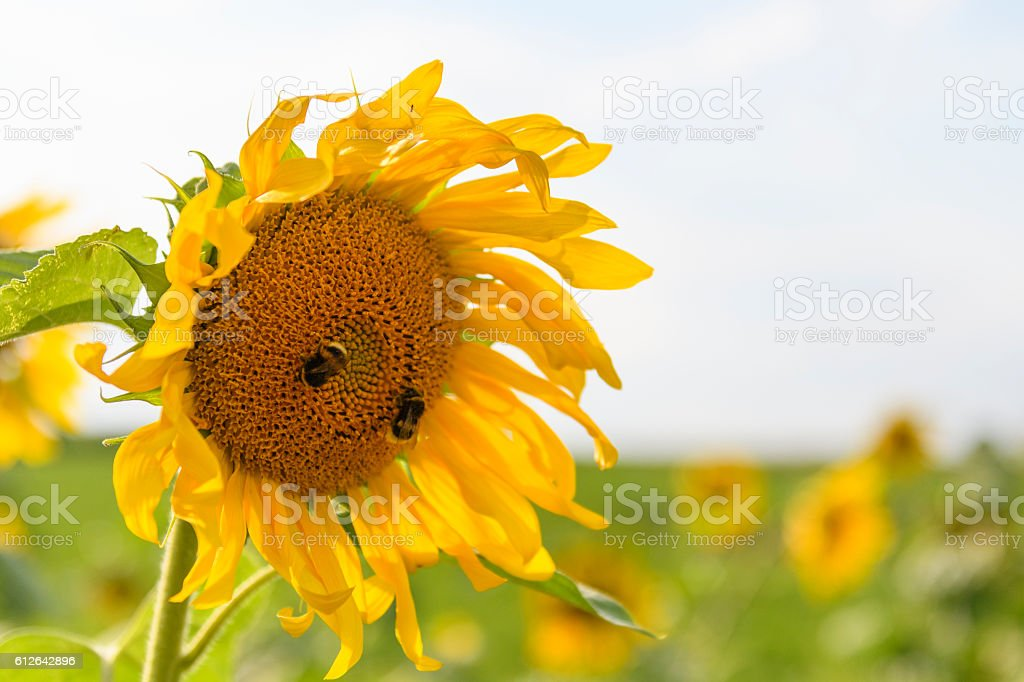Sunflowers in a field during an overcast day in summer stock photo