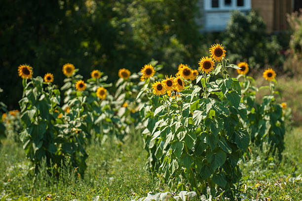 Sunflowers in a field stock photo