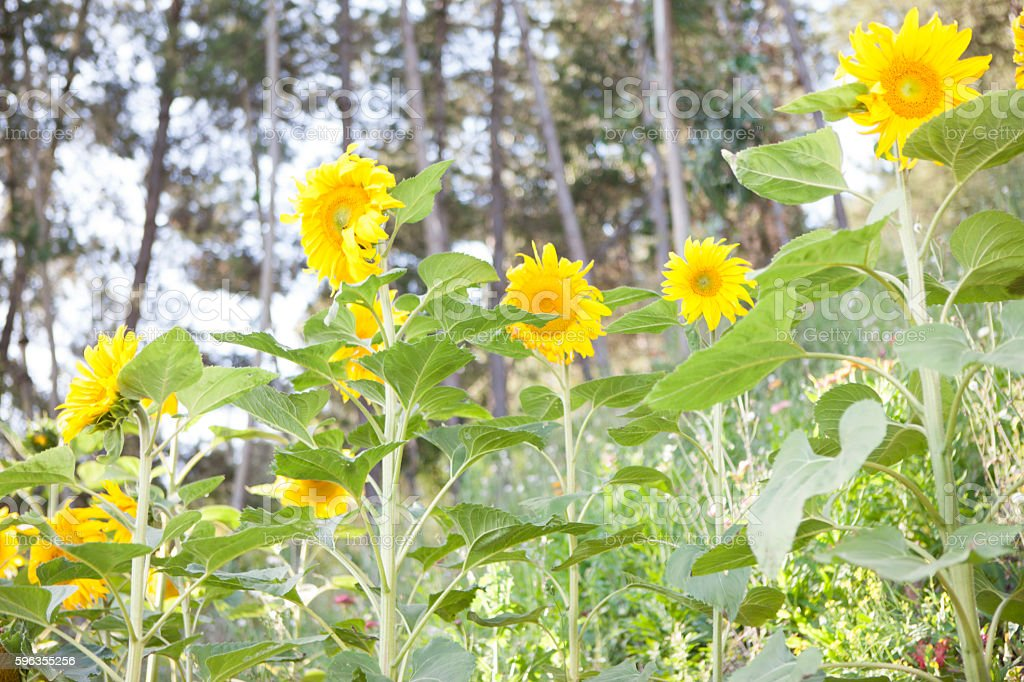 sunflowers in a forest royalty-free stock photo