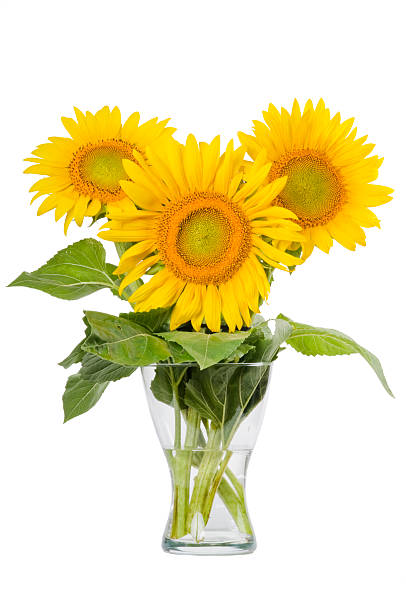 Royalty Free Sunflowers In Vase Pictures Images And Stock
