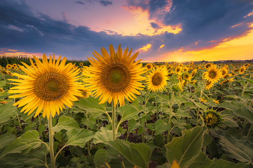 Sunflowers in bloom at sunset