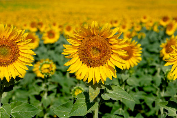 Sunflowers in bloom stock photo