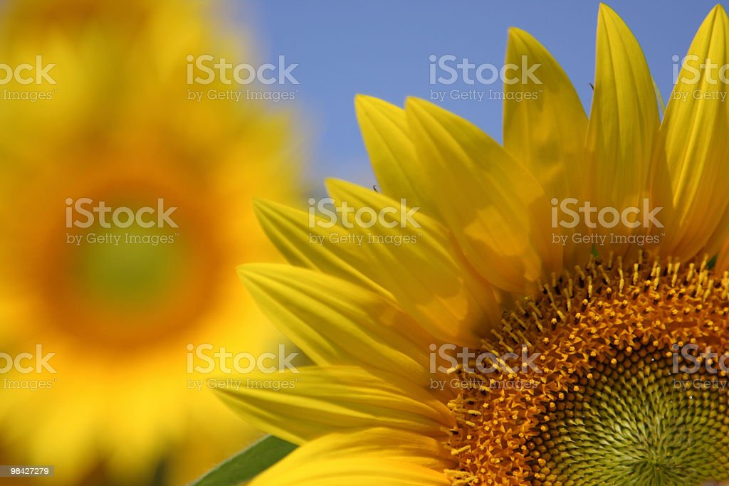 Sunflowers in bloom royalty-free stock photo